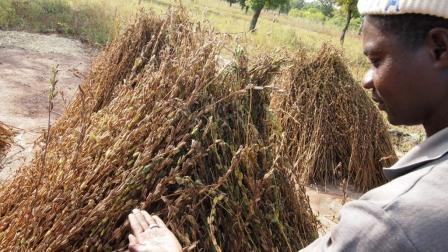 Siriki Ouattara examinant l'état de ses récoltes de sésame