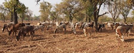 C'est la saison sèche et le bétail manque de nourriture