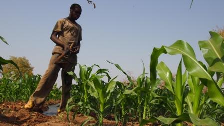 Champ de semence de maïs hybride pour la campagne sèche