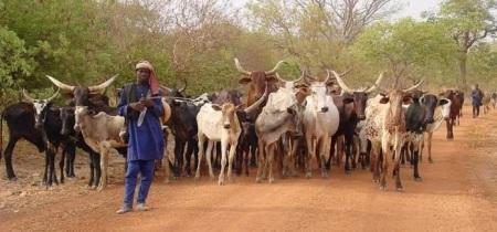 troupeau-peul-venu-en-transhumance-du-niger-dans-le-sud-du-burkina-faso_www_france-sud_ird_fr