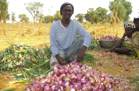 La production de l'oignon en saison des pluies offre de nombreux avantages aux maraichers burkinabè